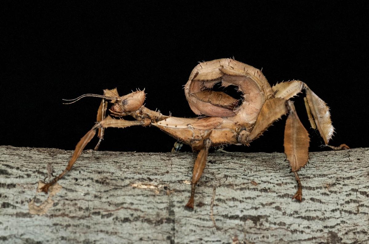 variedad de insecto palo