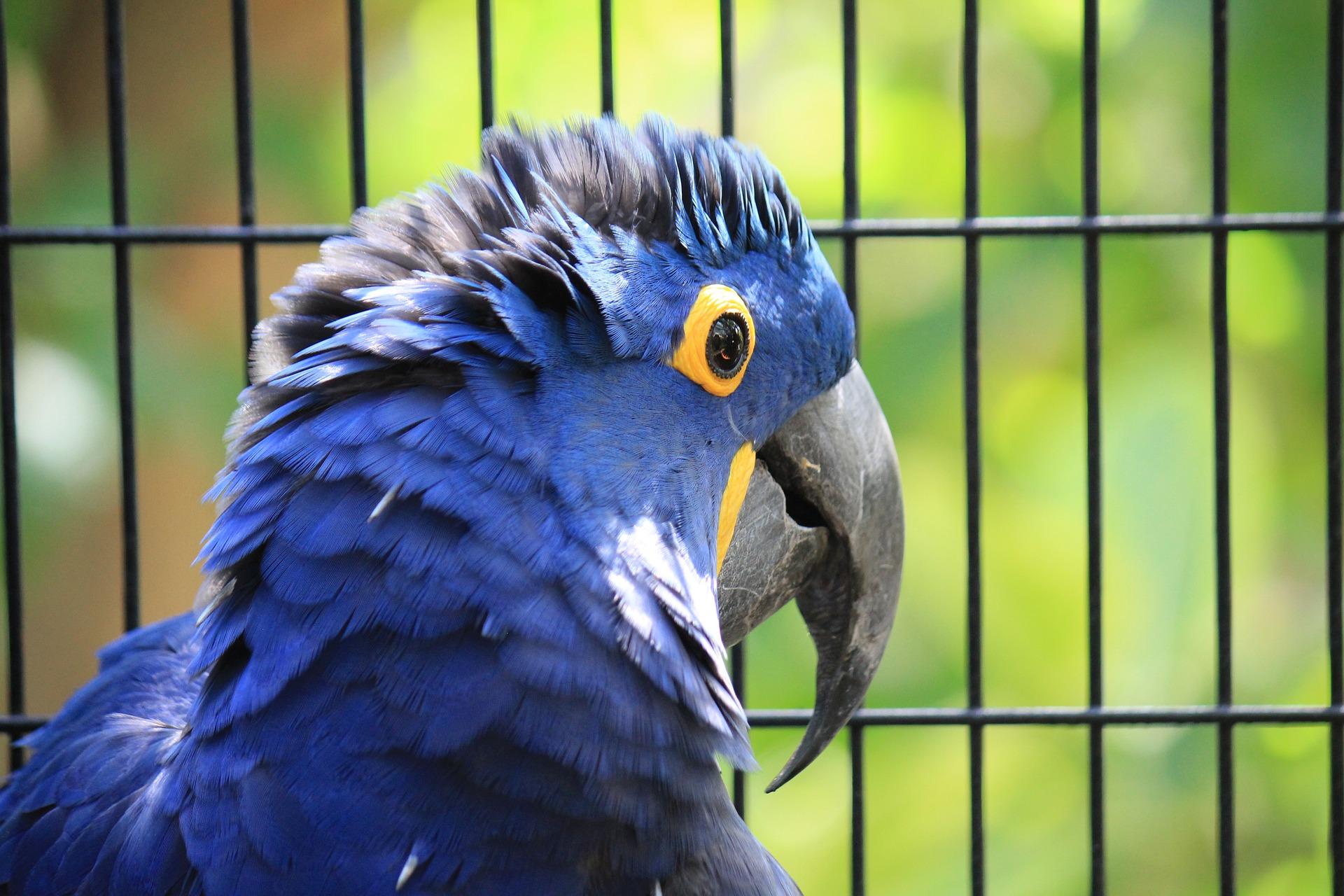 El comportamiento del papagayo azul
