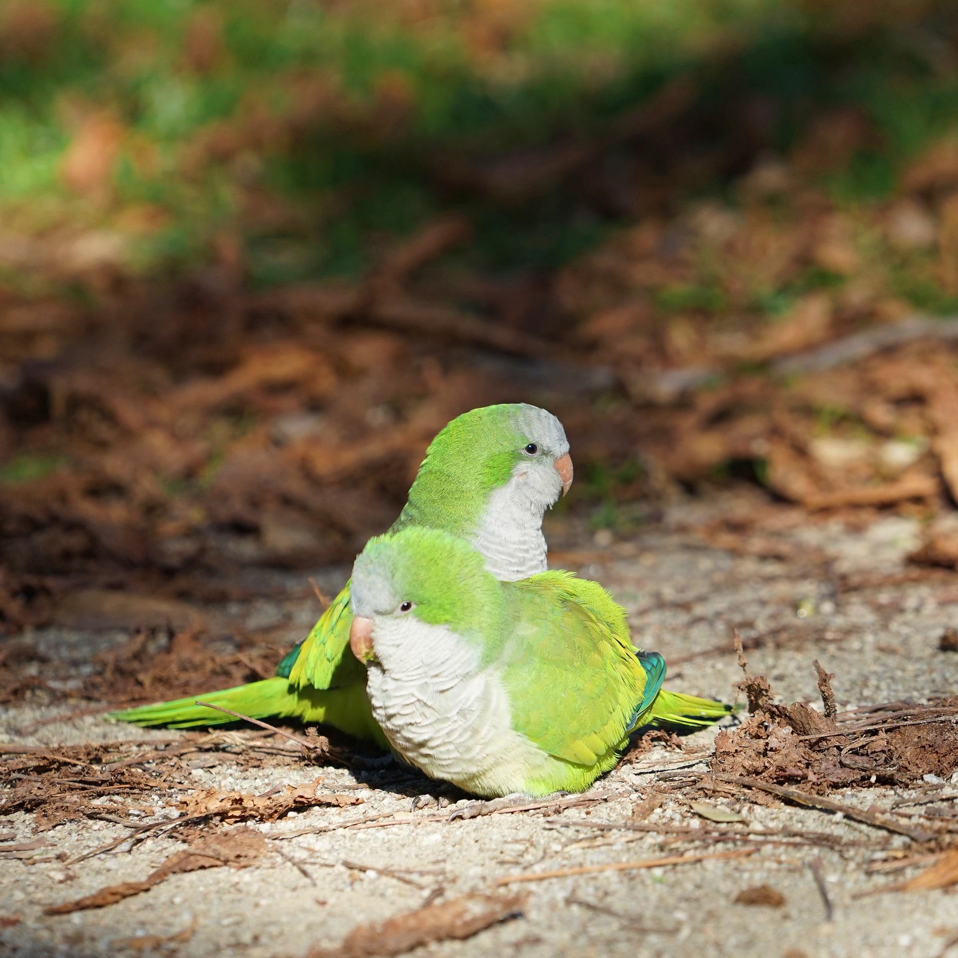 Cuidados de los agapornis papilleros