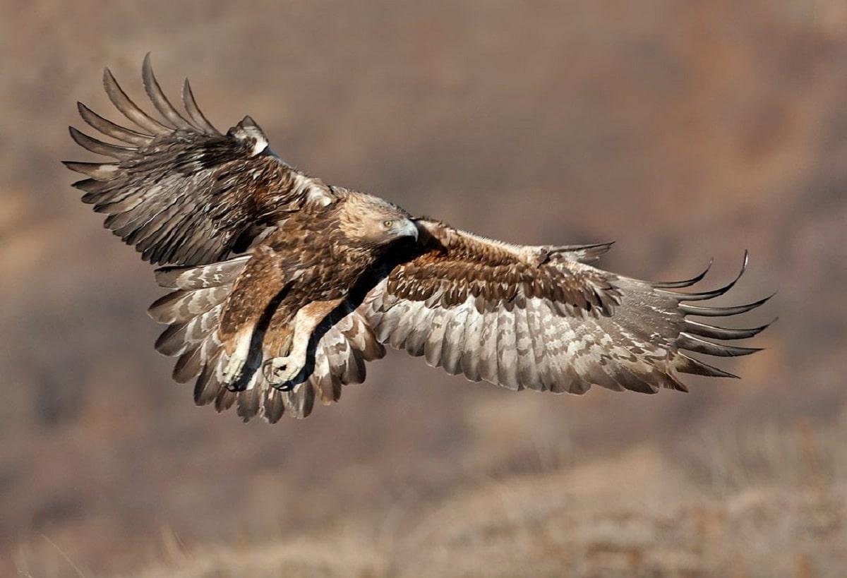 aguila real iberica volando