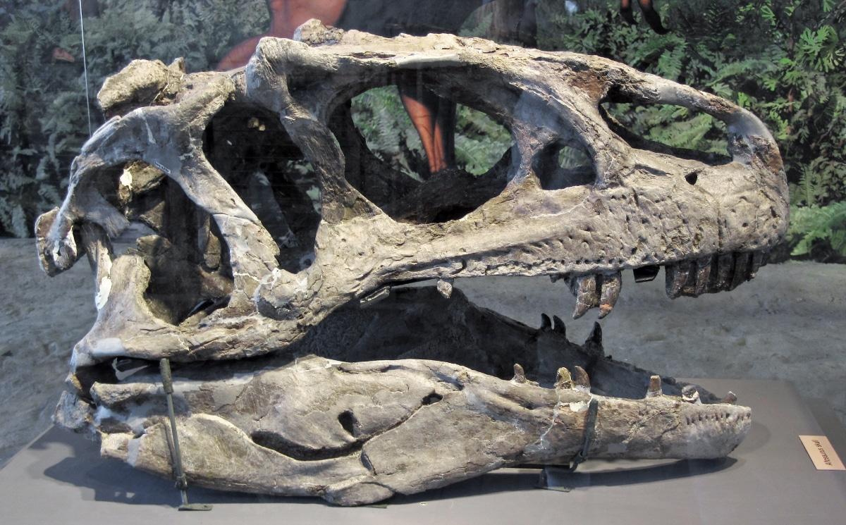 El cráneo de Allosaurus medía entre 85 y 90 centímetros