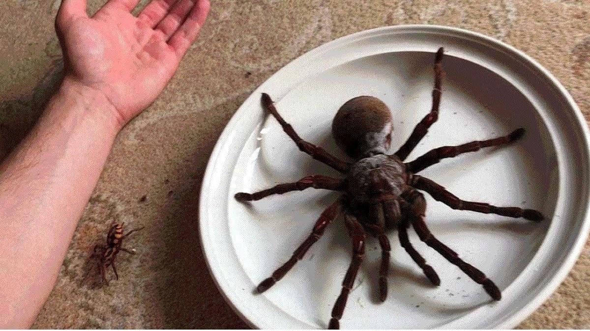 arañas gigantes de todo el mundo