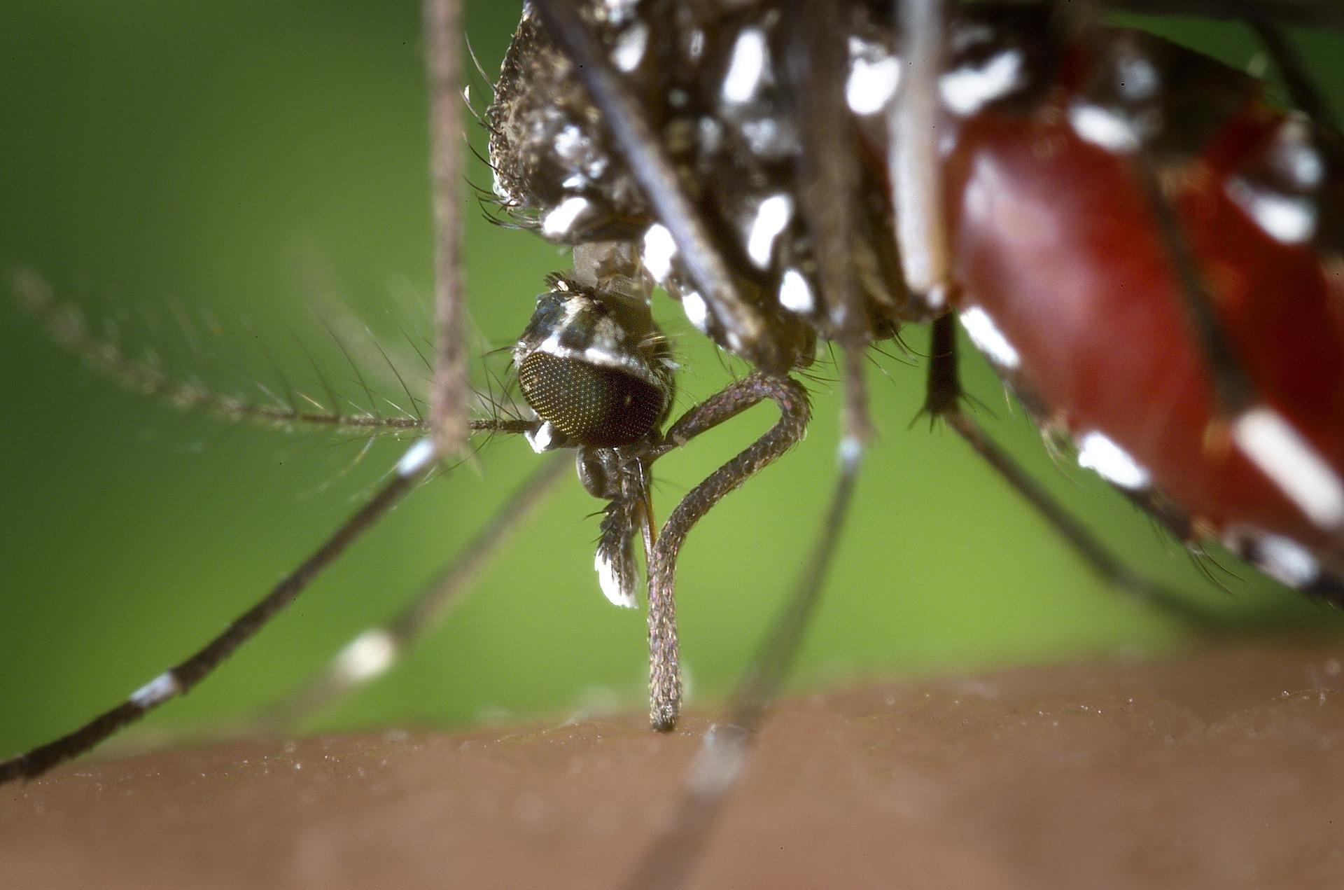 Características del mosquito tigre