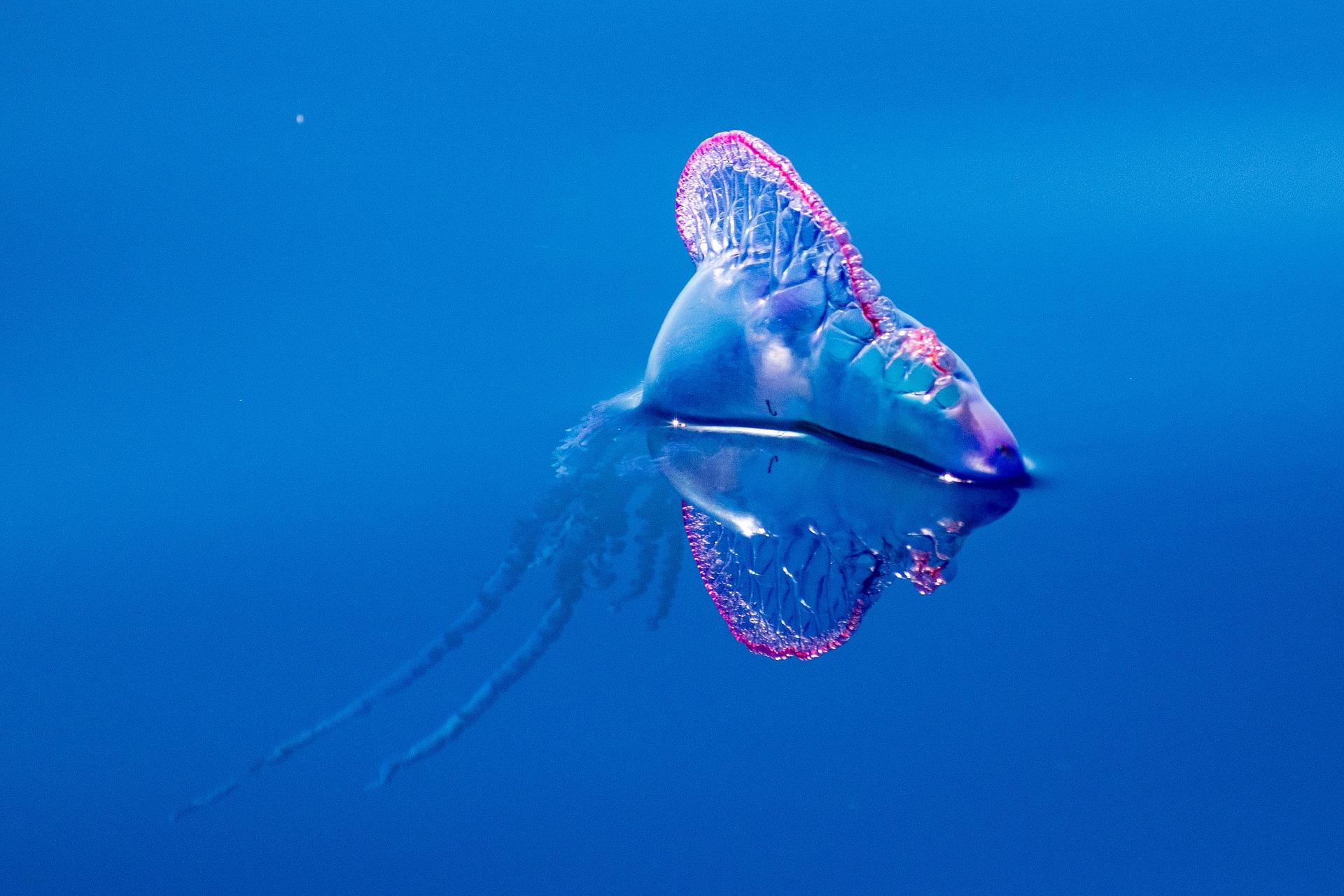 El veneno de las medusas portuguesas