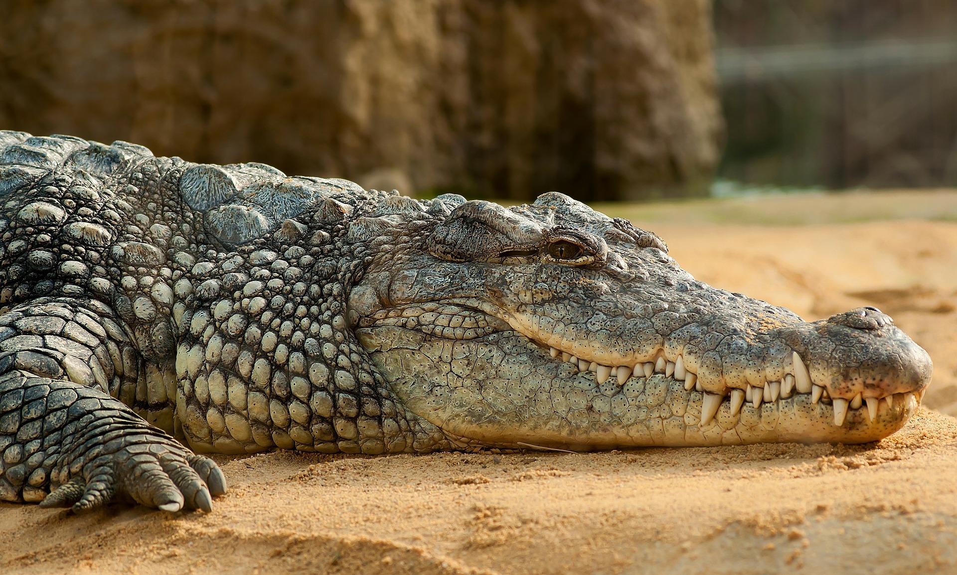 La reproducción de los cocodrilos