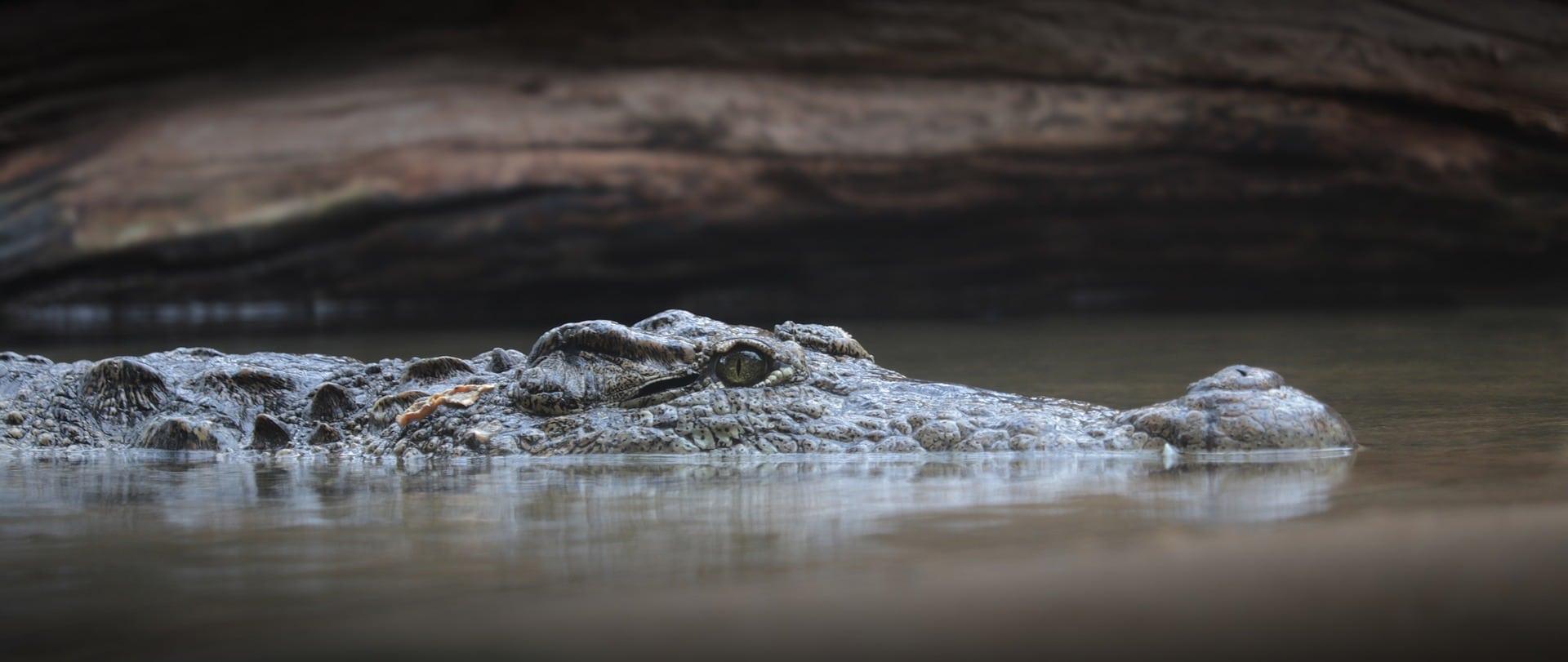 Qué comen los cocodrilos