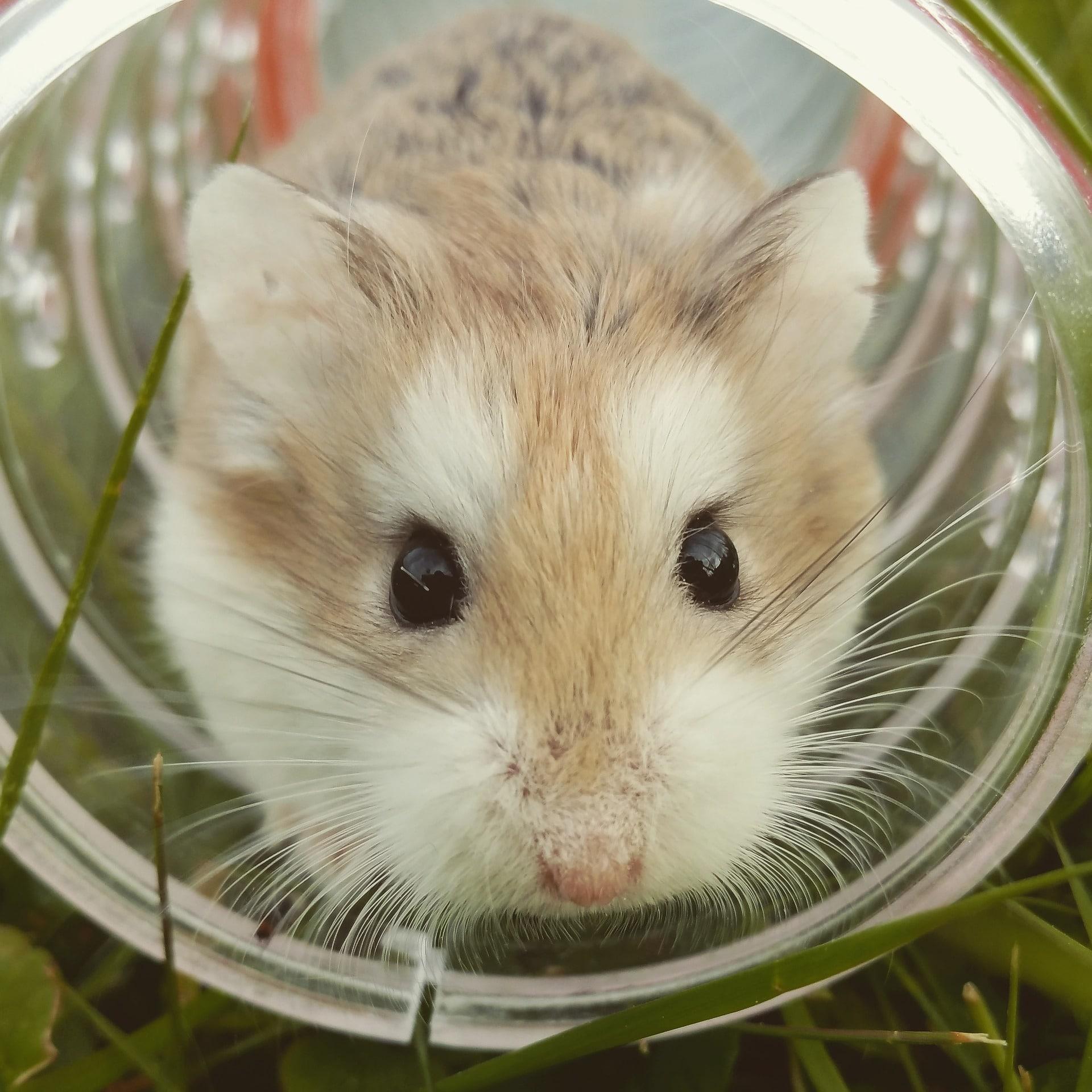 cuidados de un hamster: la casa del hámster