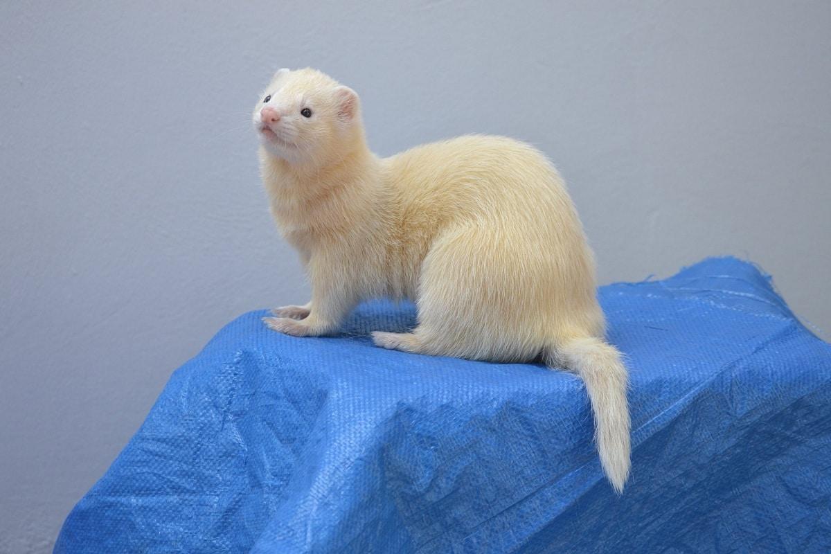 huron albino cuidados