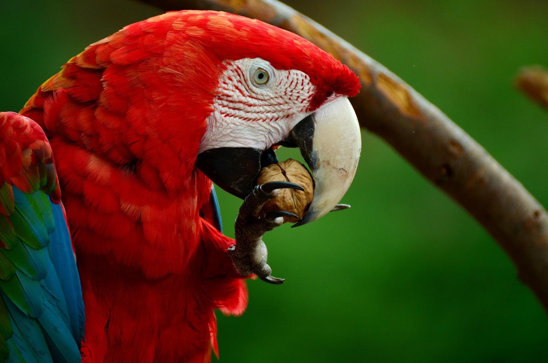La reproducción del guacamayo rojo