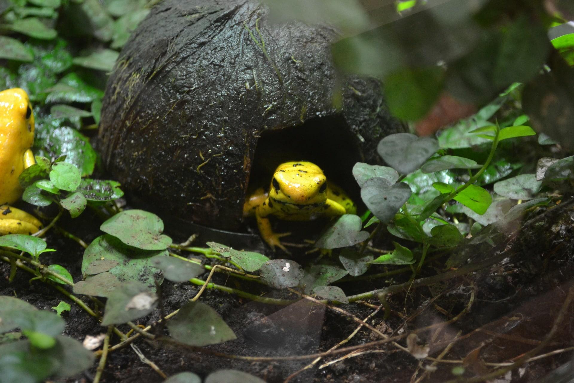 Características de la rana dorada
