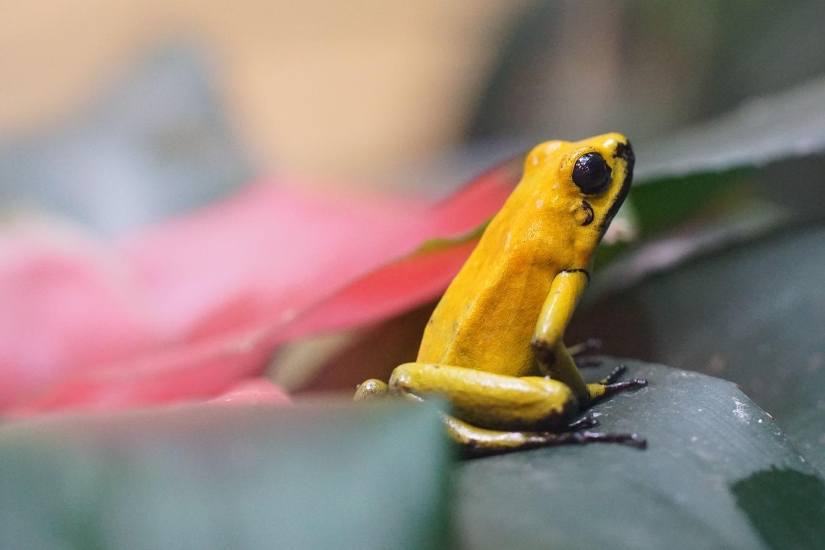 La alimentación de la rana dorada