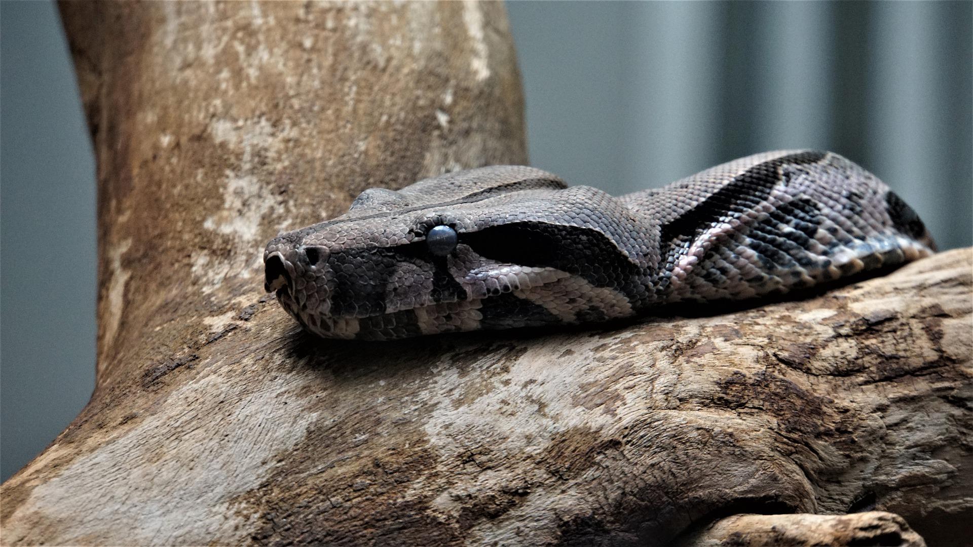 La alimentación de la serpiente boa