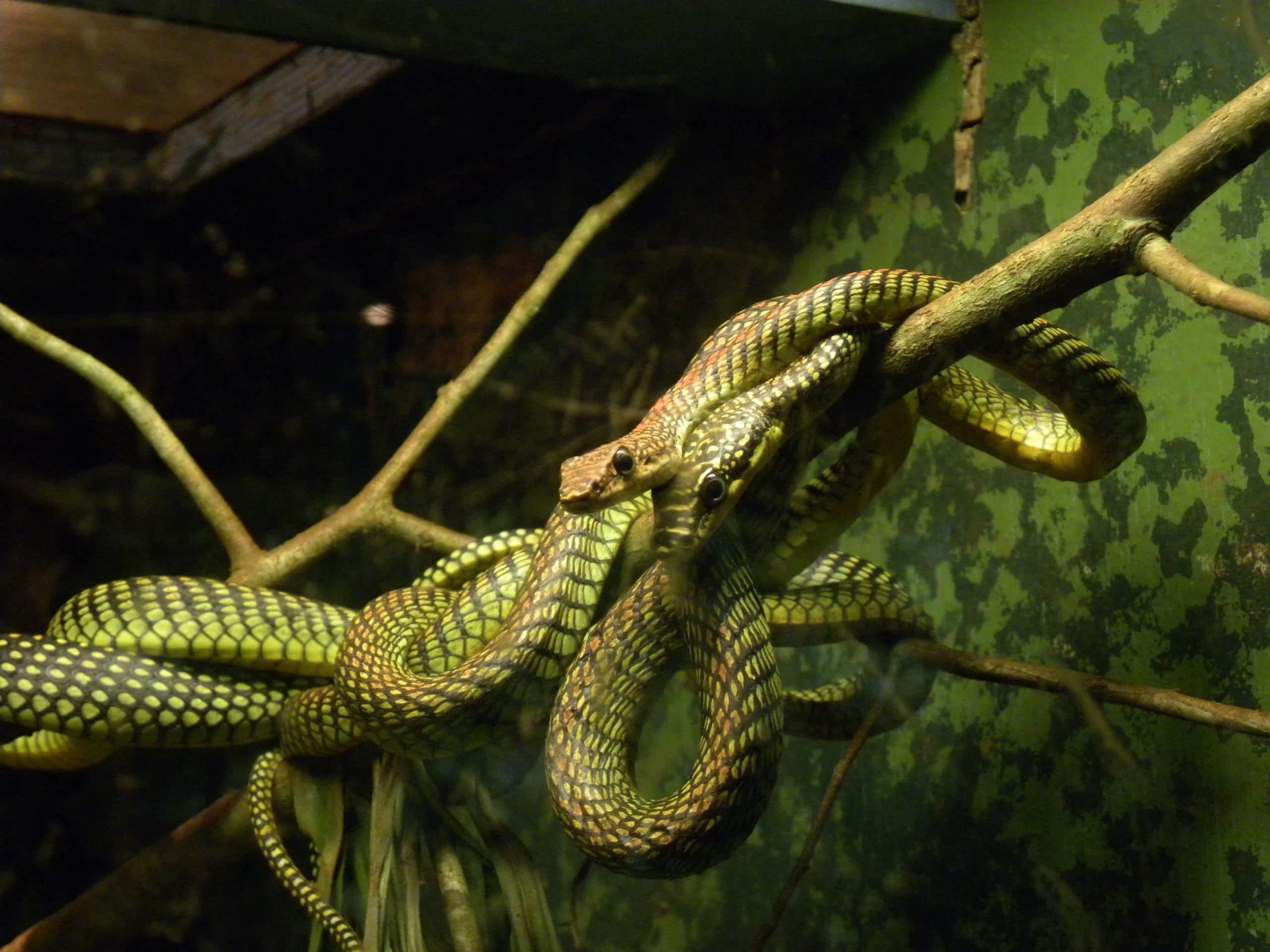 La reproducción de la serpiente voladora