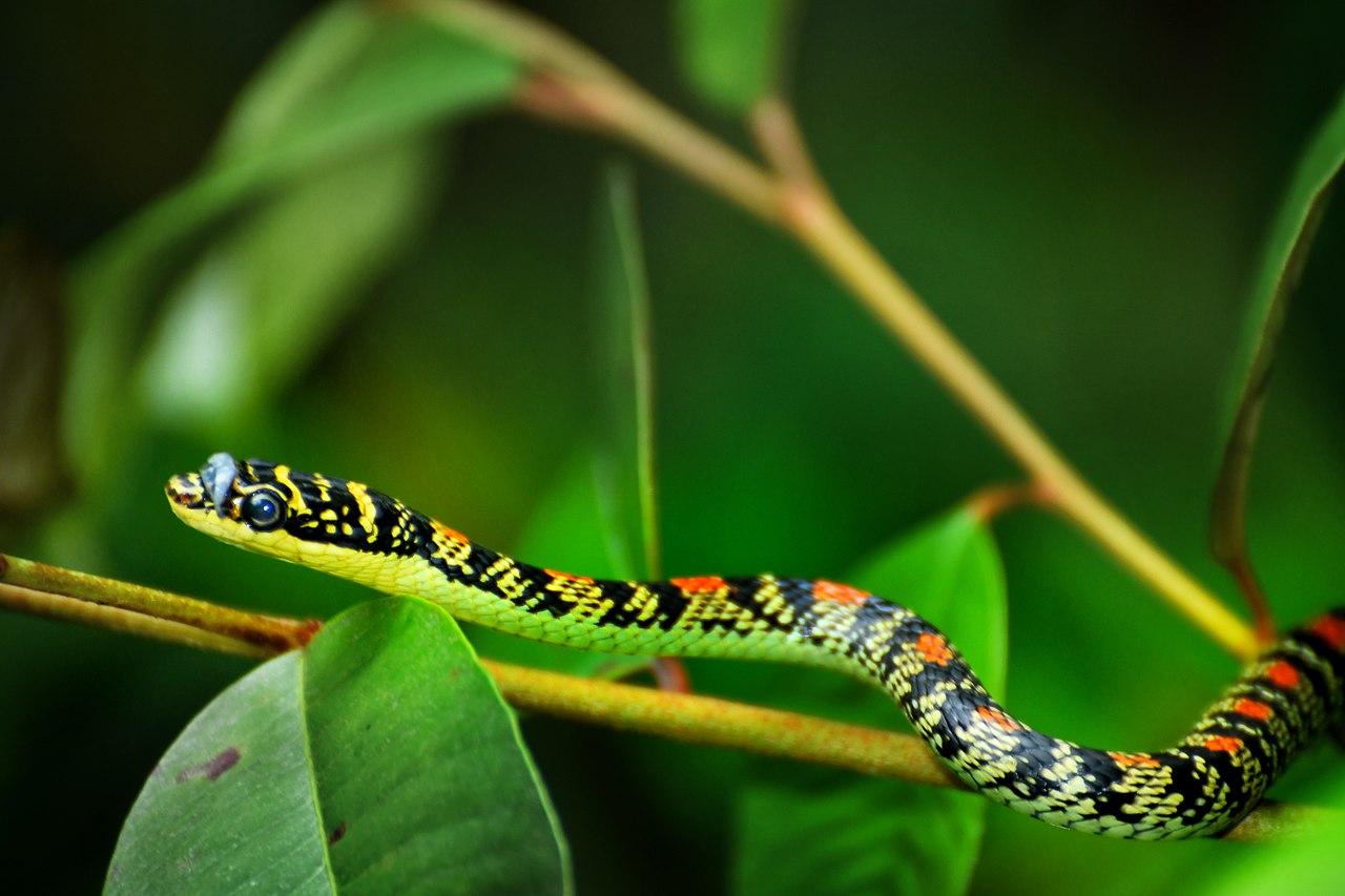Características de la serpiente voladora