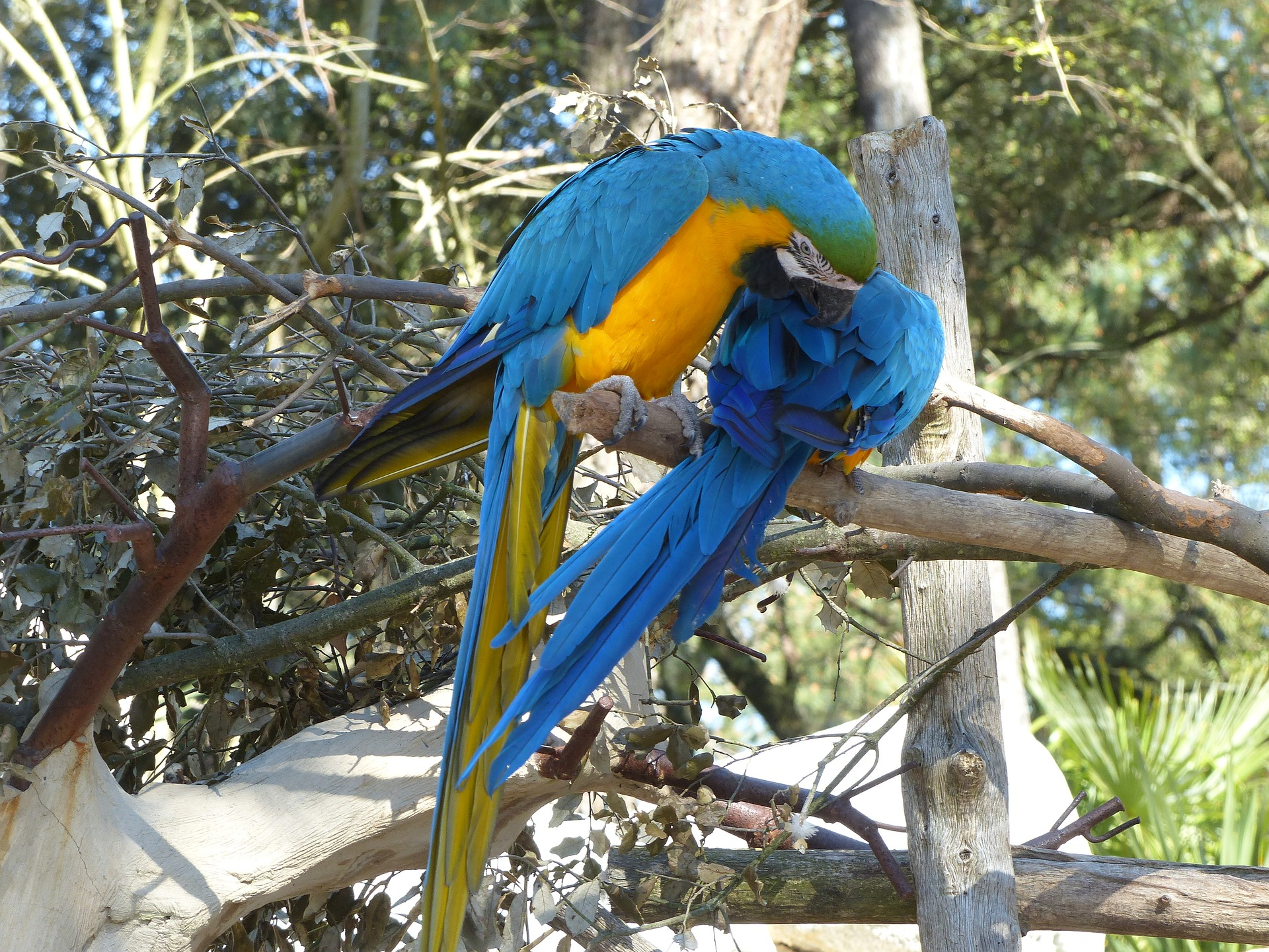 La reproducción del guacamayo azul y amarillo