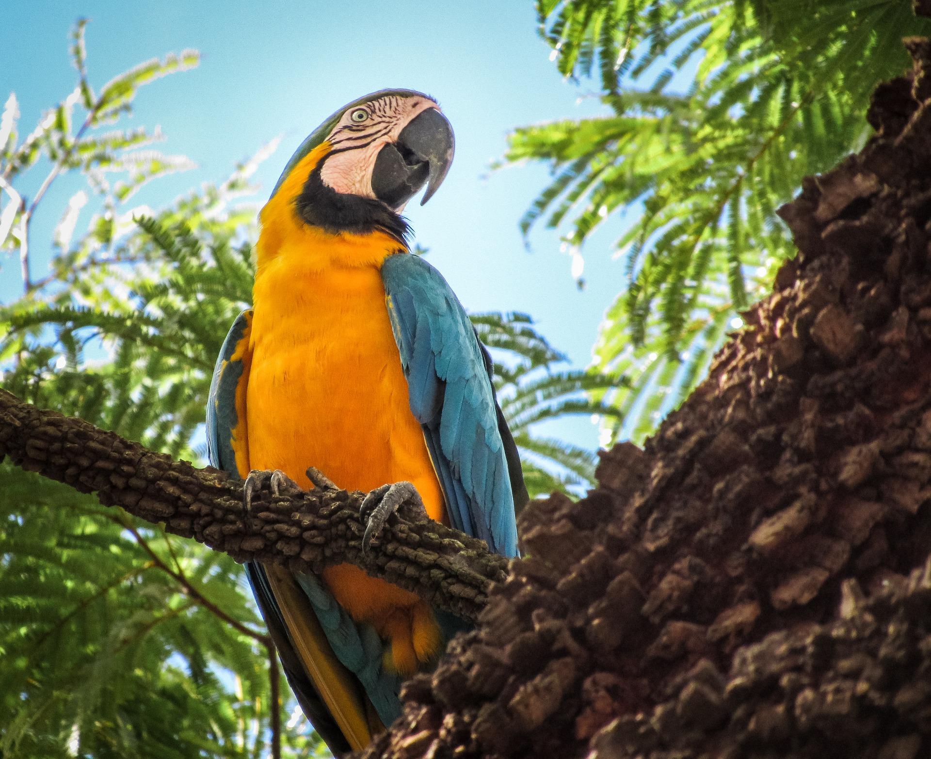 Características del guacamayo azul y amarillo