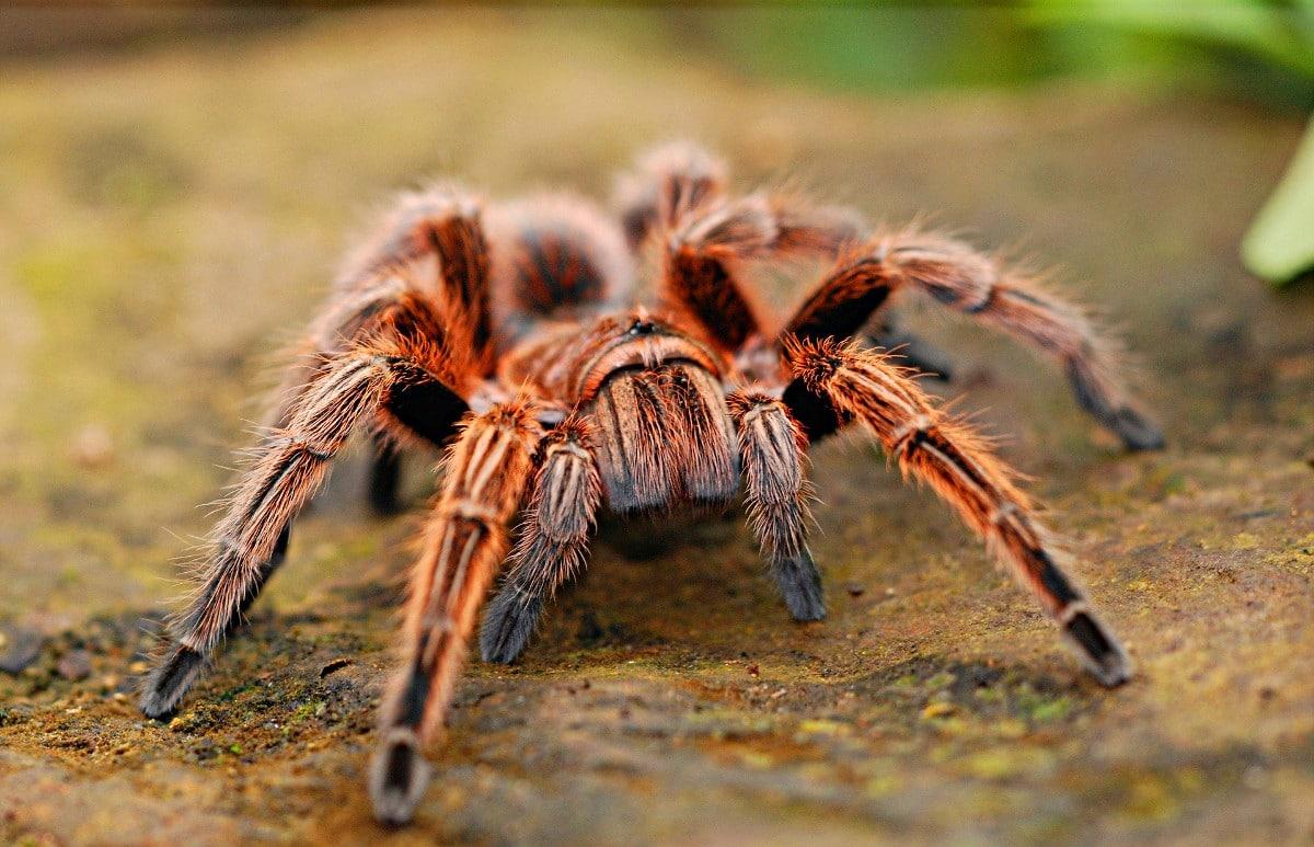 Arañas venenosas del mundo