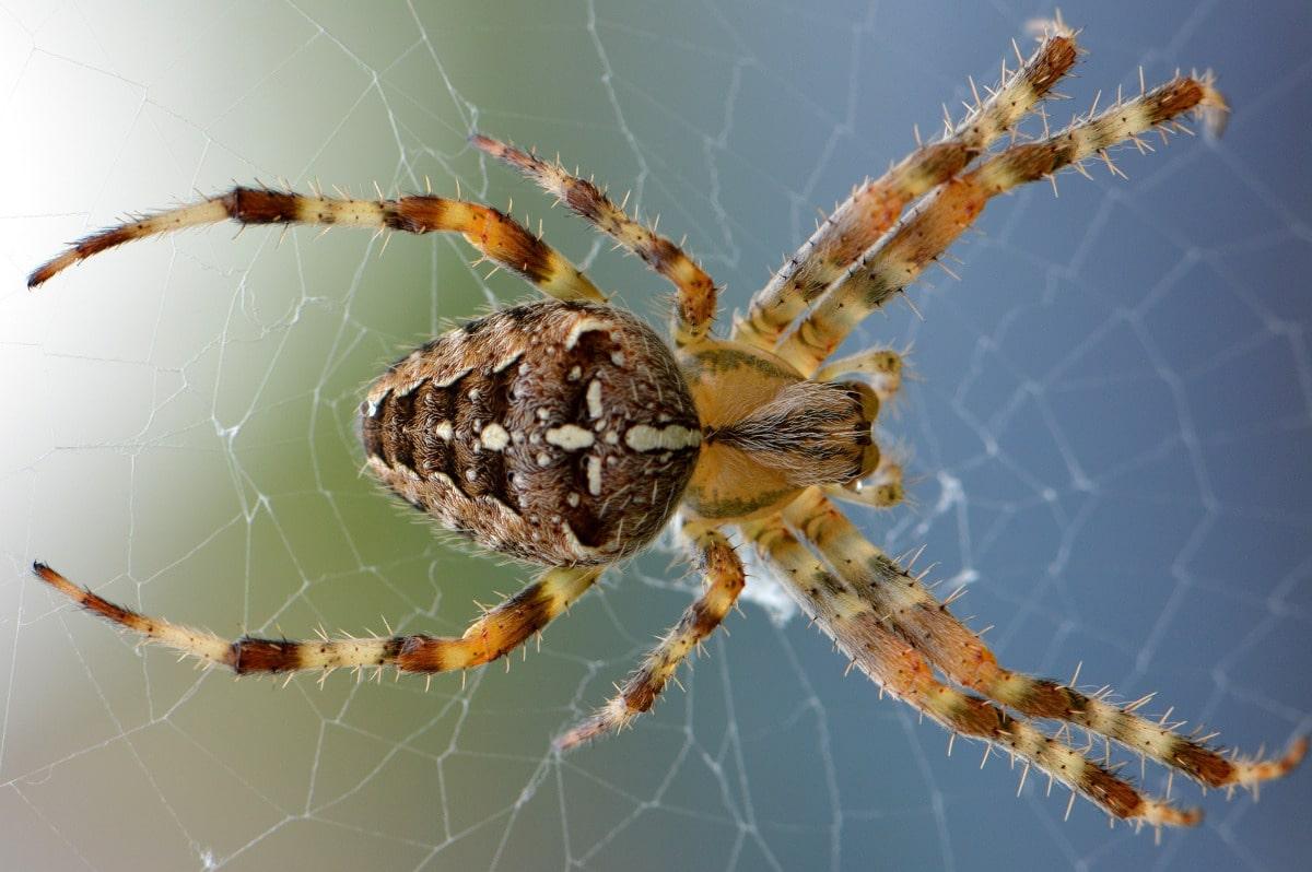 Las arañas venenosas del mundo