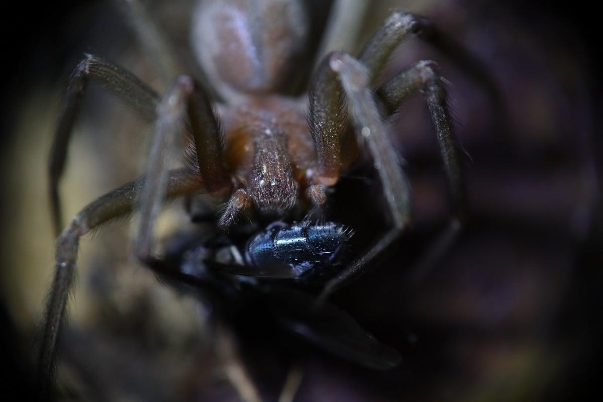 Araña violín