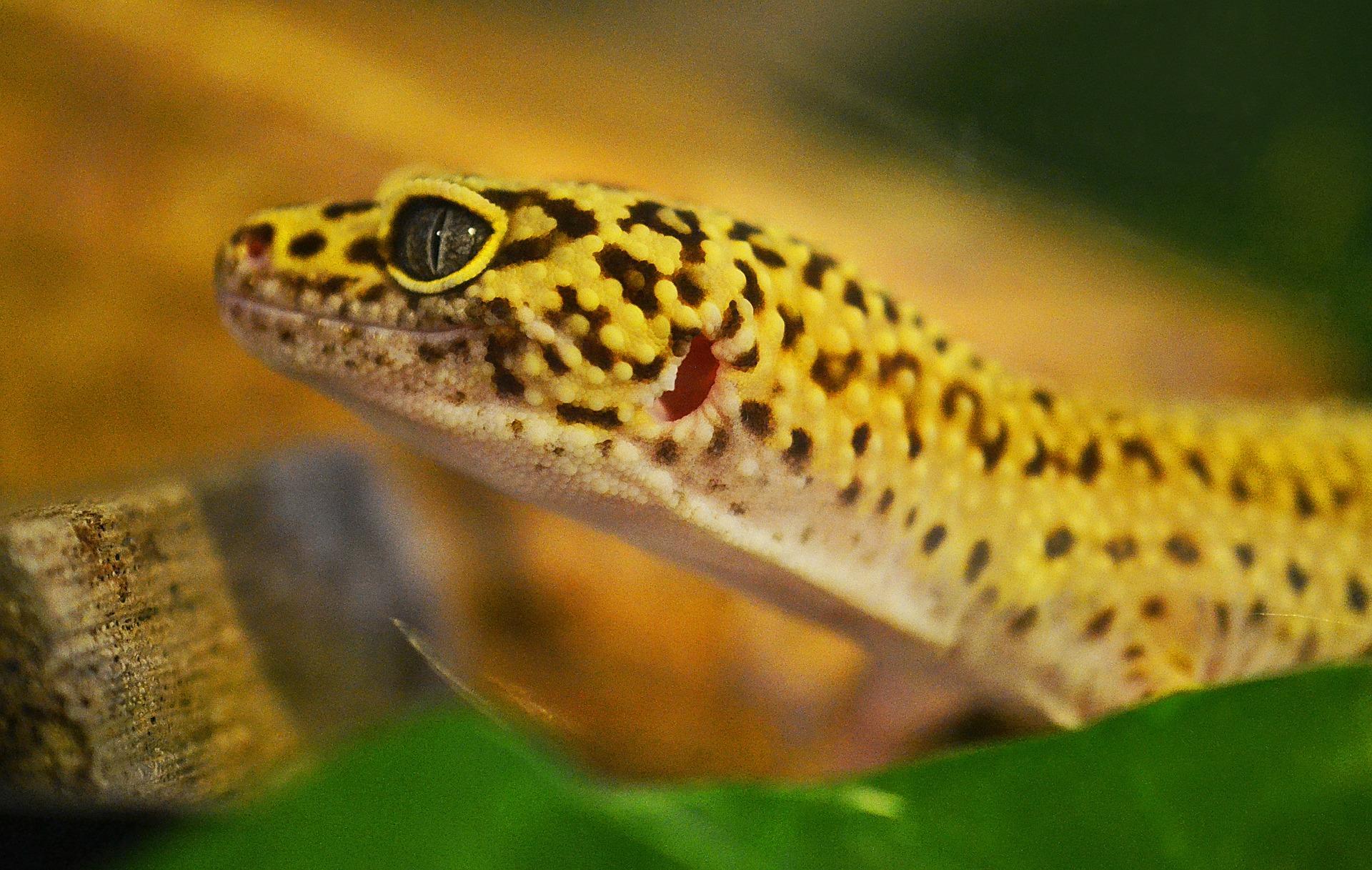 Dónde comprar un gecko