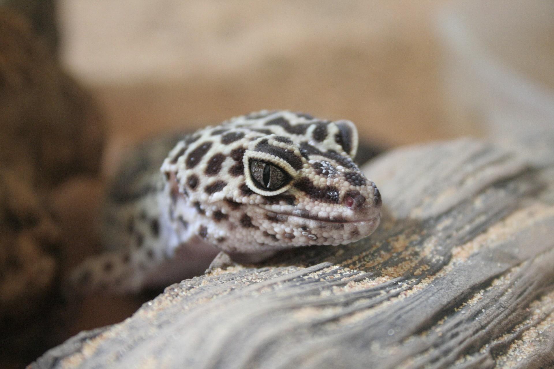 Tiendas de animales para comprar un gecko