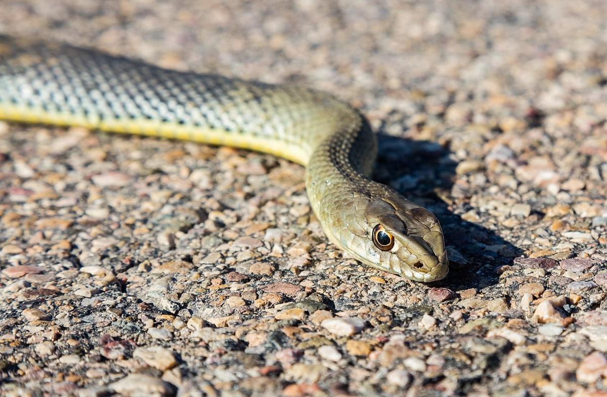 El comportamiento de la serpiente bastarda