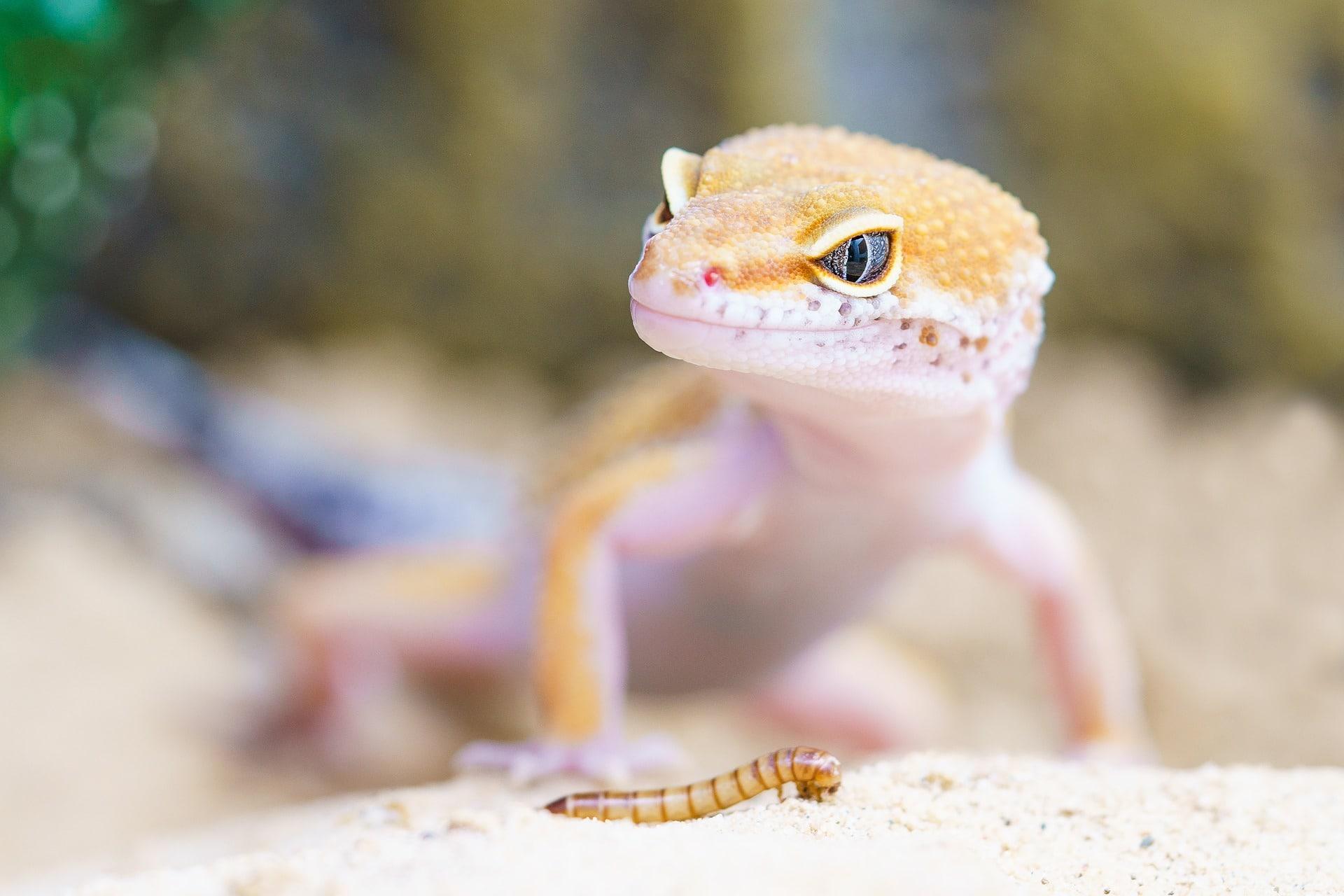 Consejos a tener en cuenta ANTES de comprar un gecko