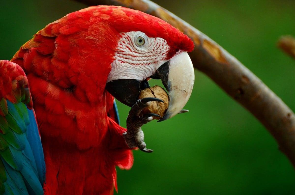 La alimentación del guacamayo papillero