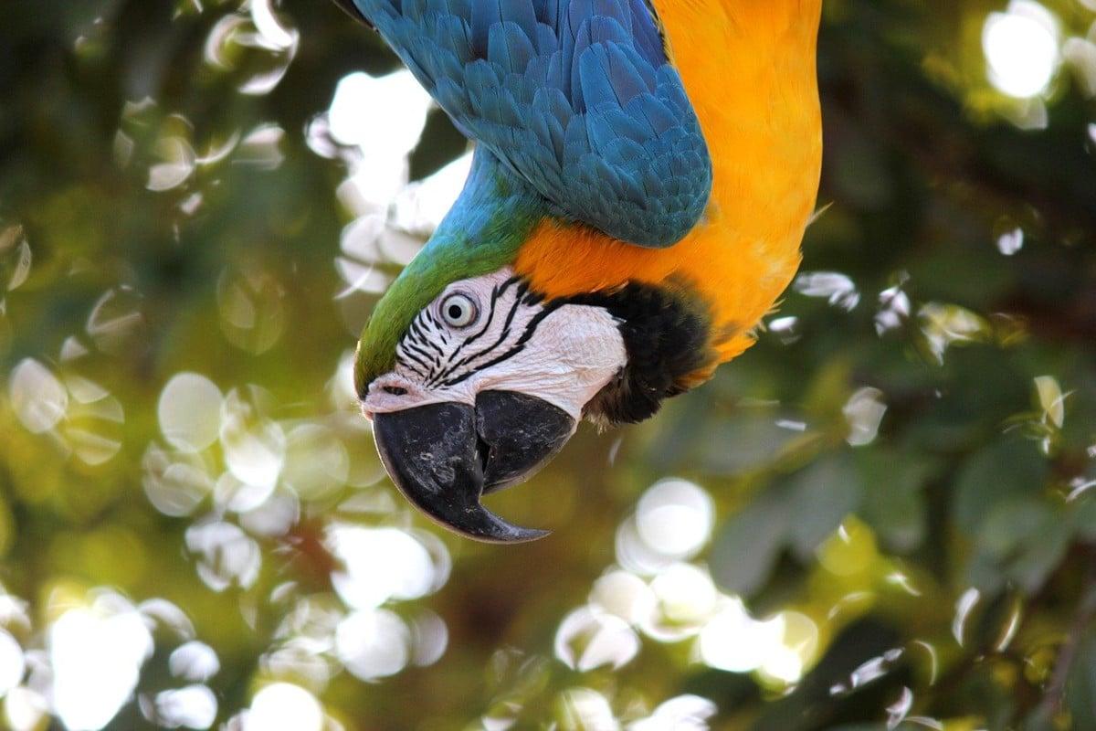 Características del guacamayo papillero