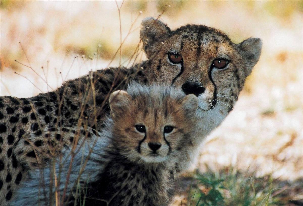 guepardo con cria
