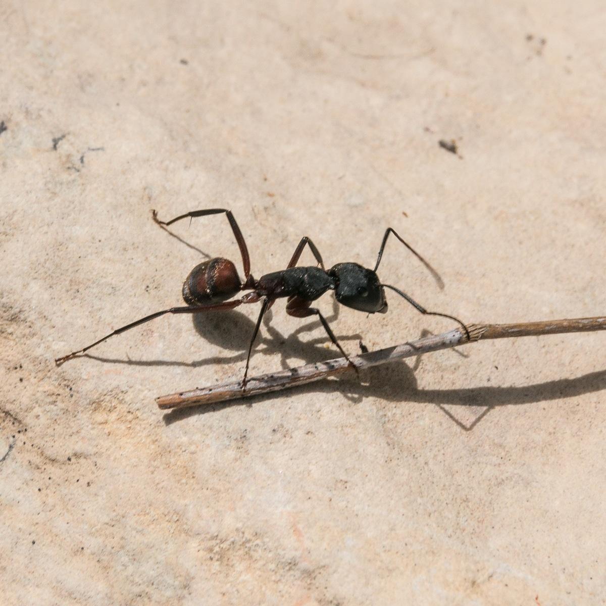 ¿Cualquier hormiga puede ser zombie?
