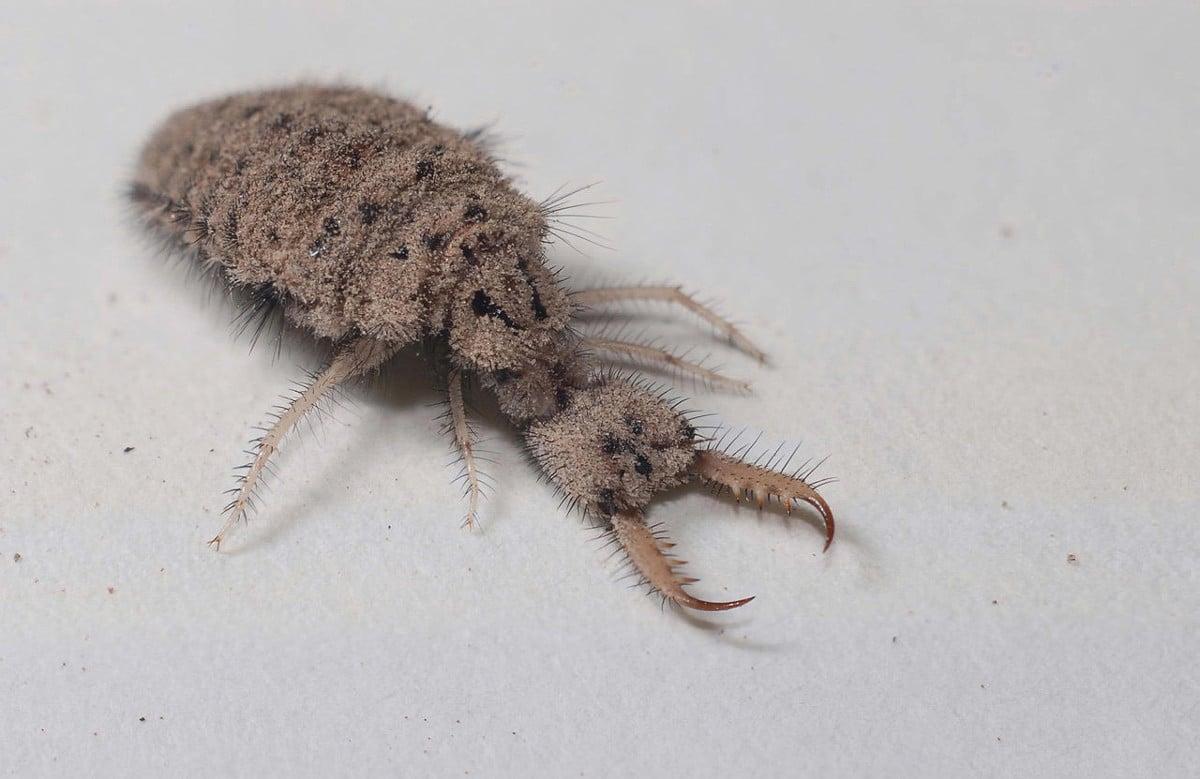Características de la hormiga león