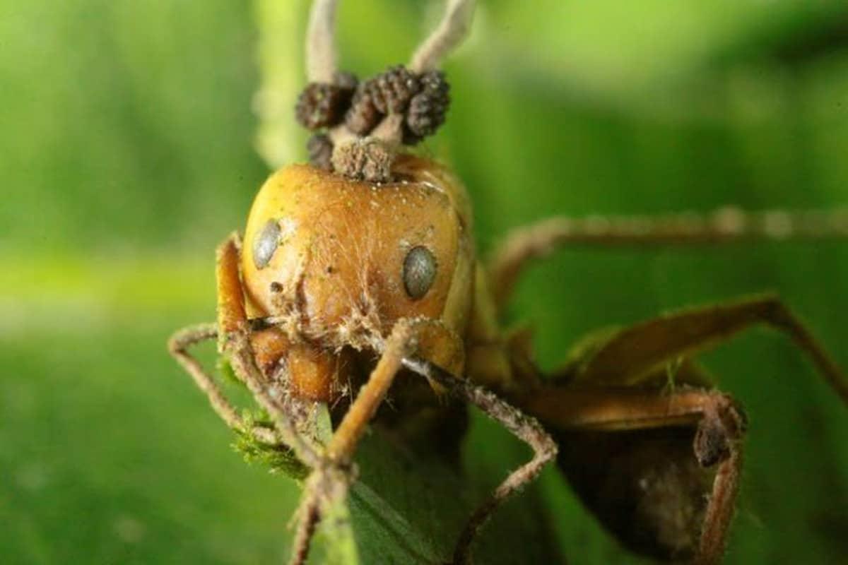 ¿Qué es una hormiga zombie?