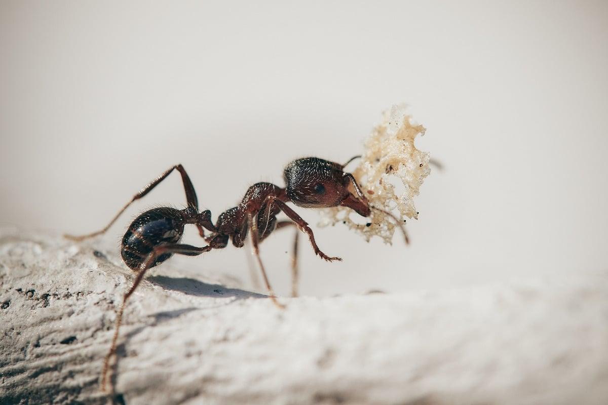 ¿Qué pasa en el cerebro de una hormiga zombie?