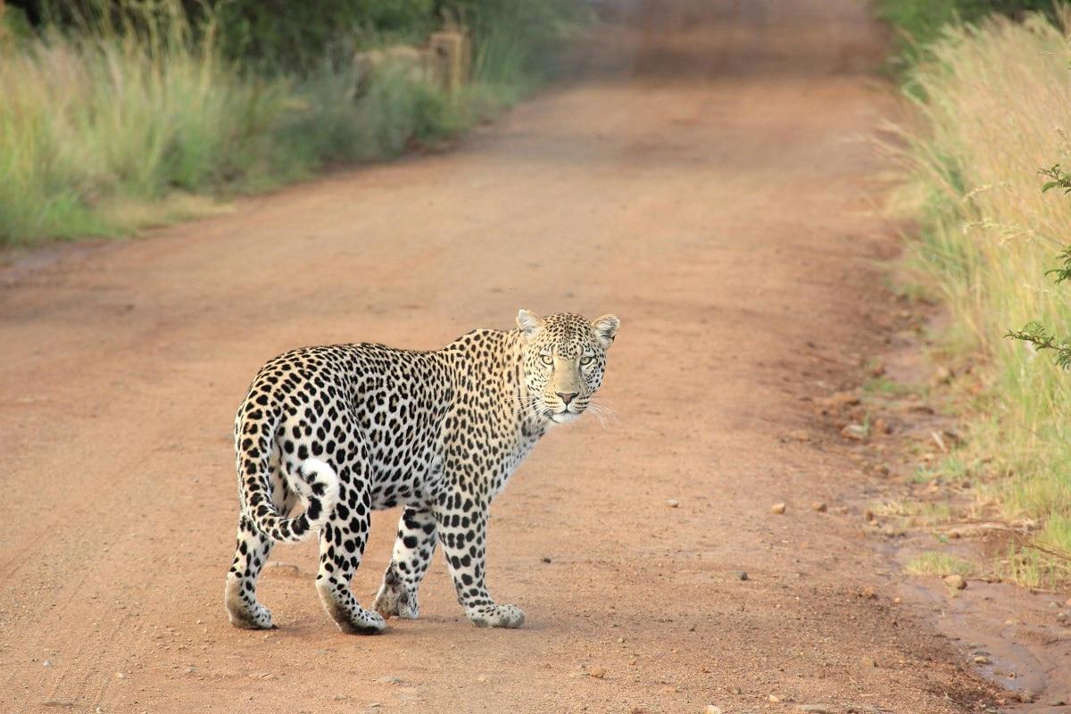 leopardo y guepardo caracteristicas