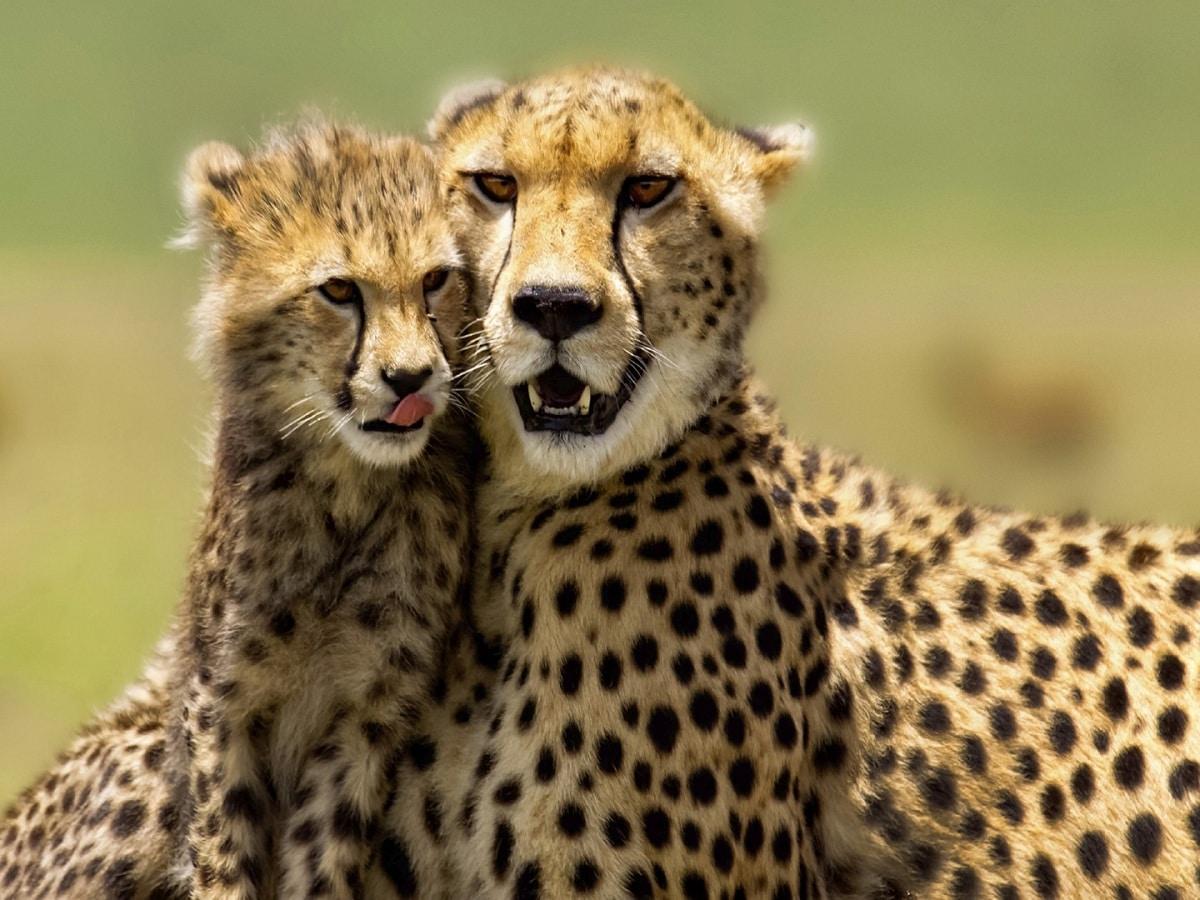 leopardo y guepardo
