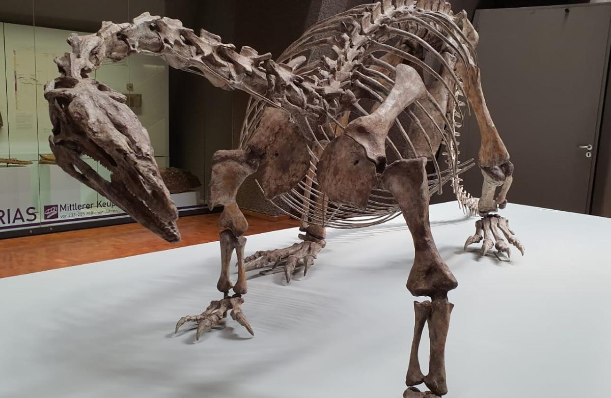 El cráneo del Plateosaurus era muy pequeño y tenía un cuello largo