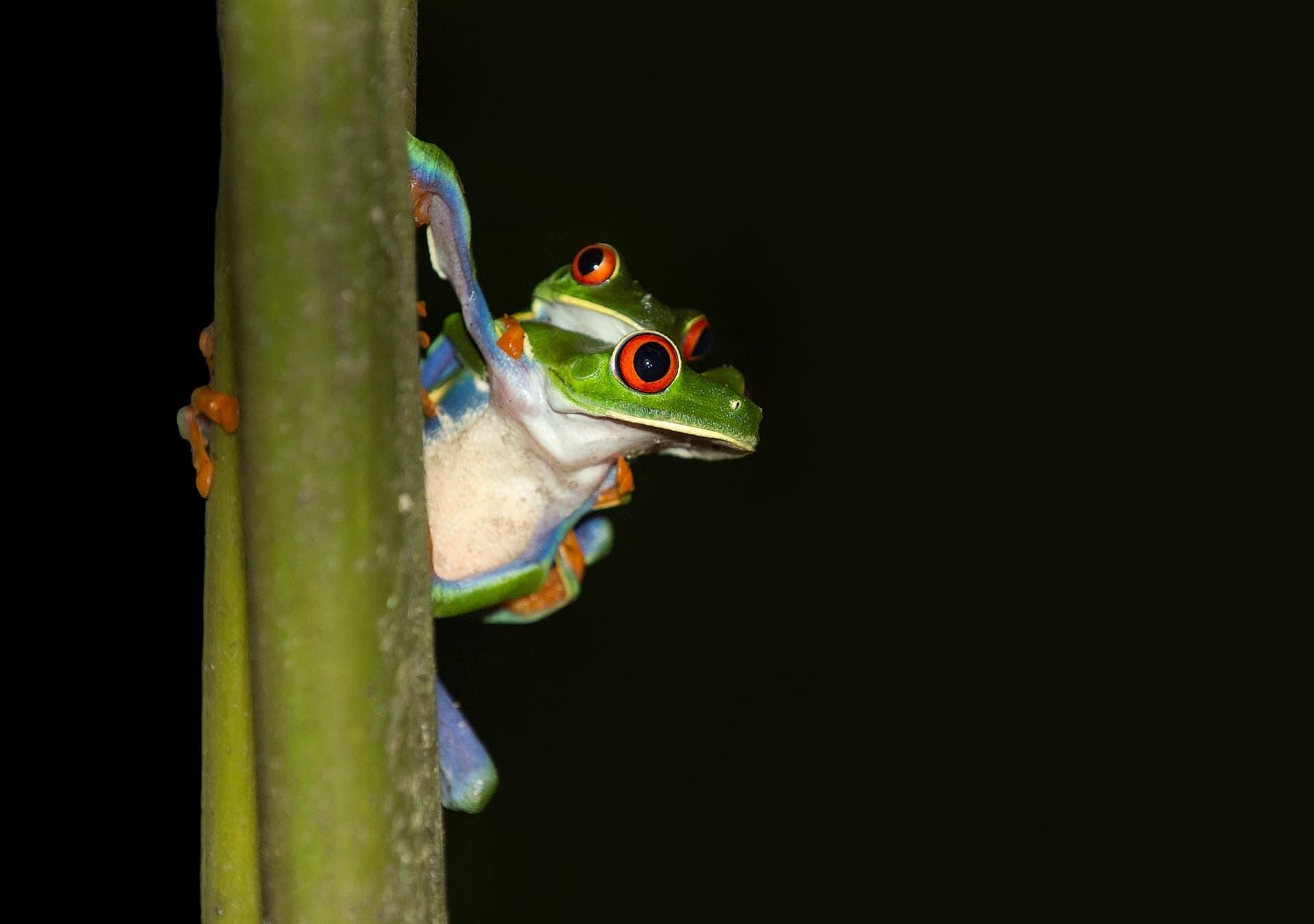 La reproducción de la rana de ojos rojos