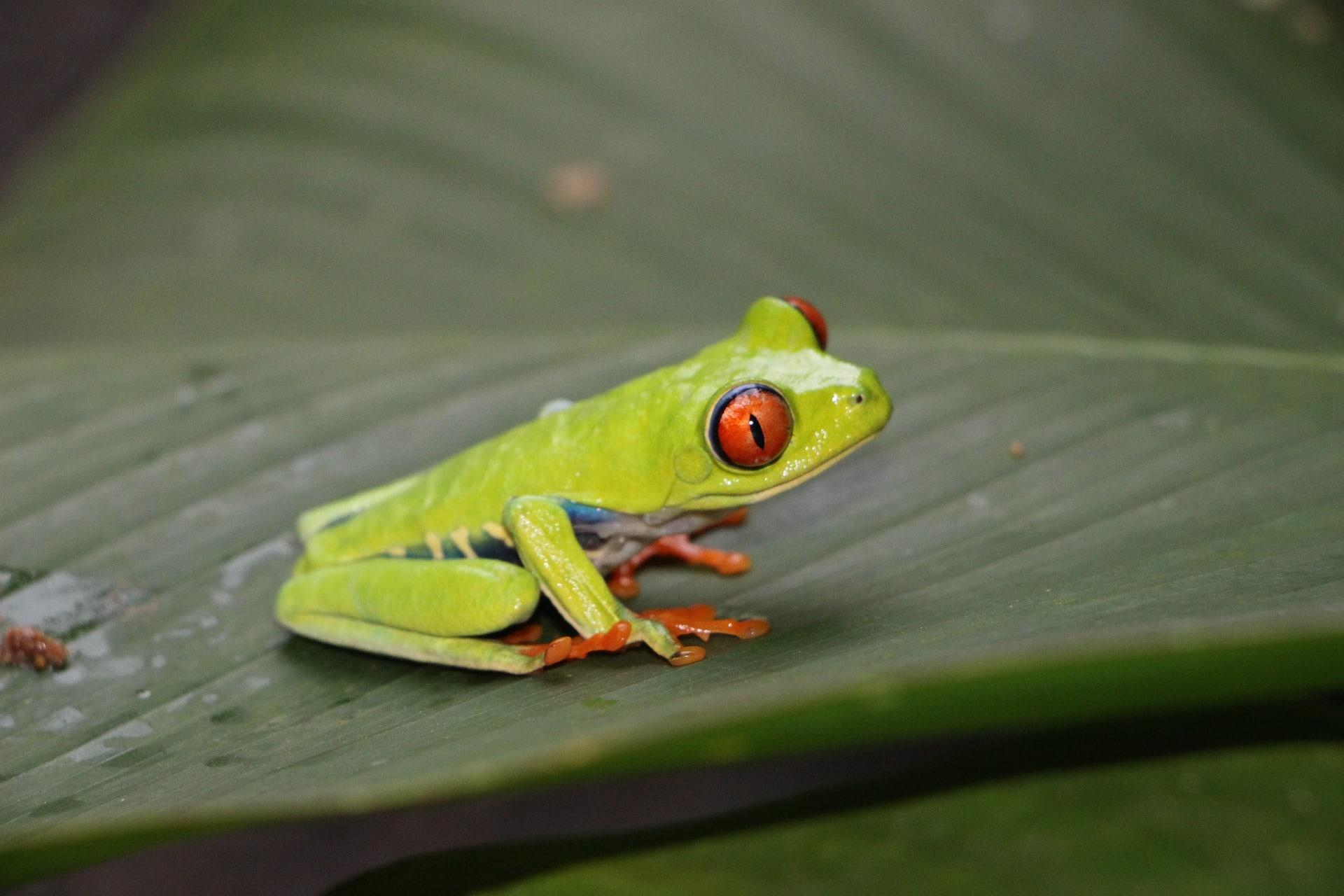Cuidados de la rana de ojos rojos