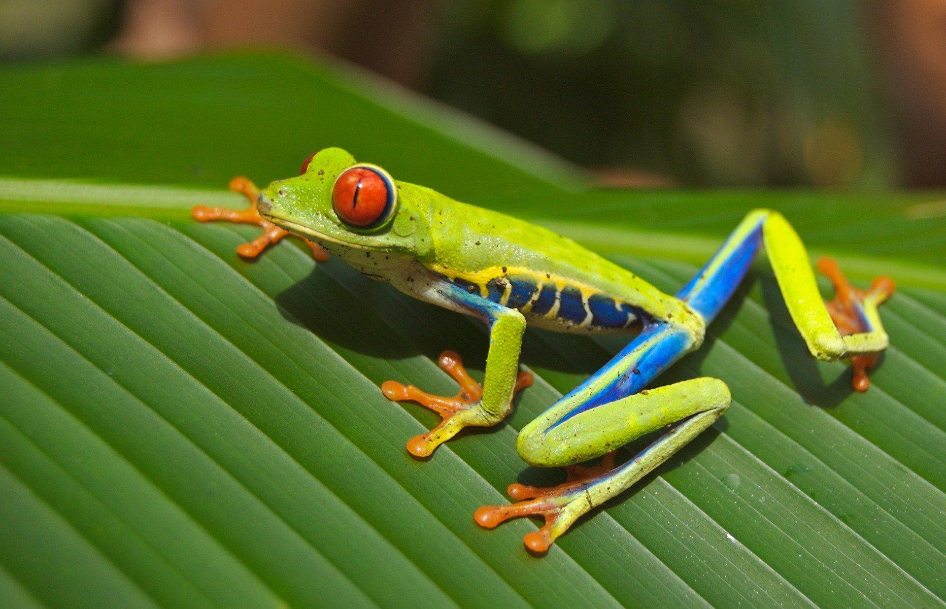 Características de la rana de ojos rojos
