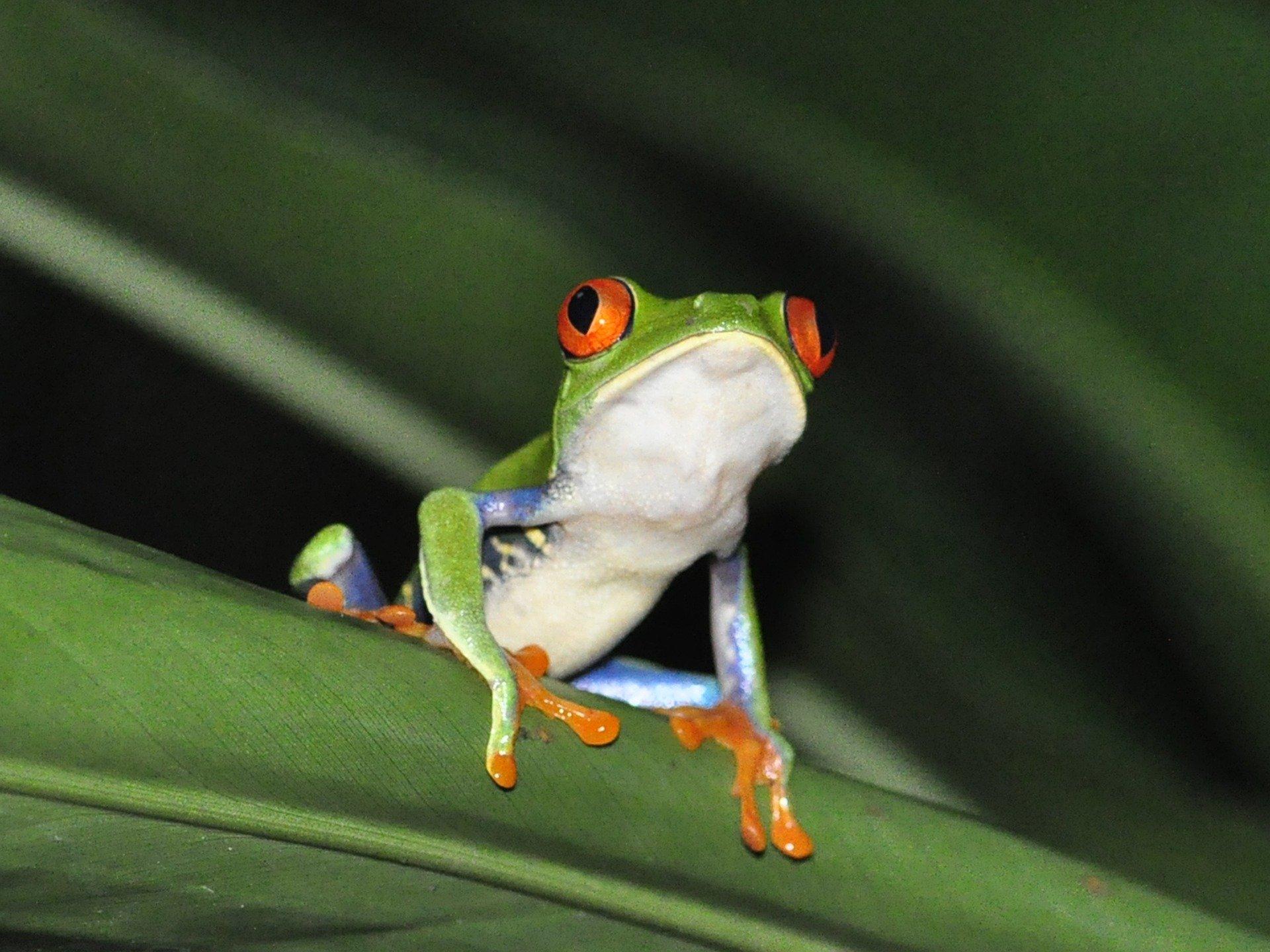 La alimentación de la rana de ojos rojos