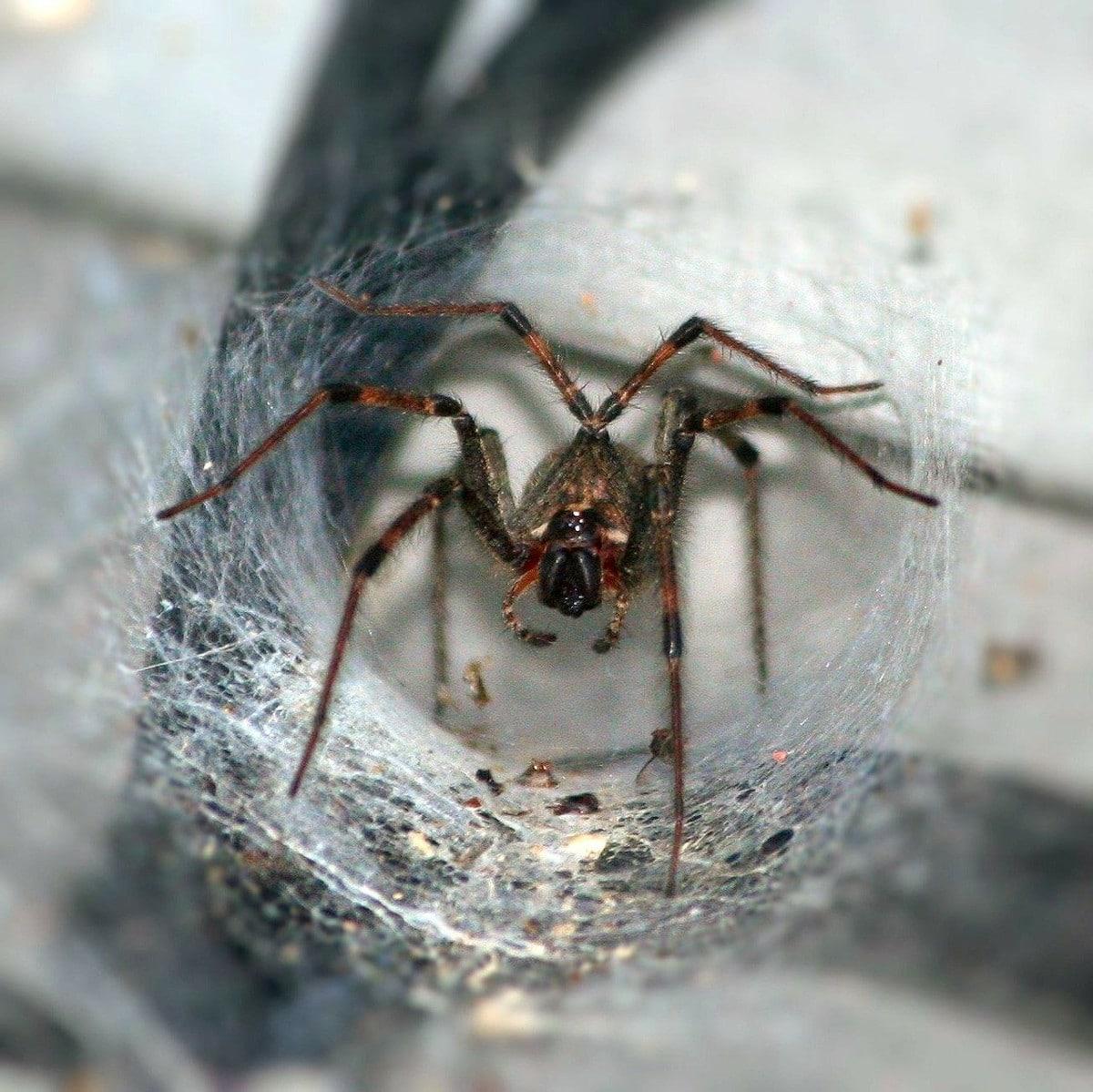 Características habituales de los tipos de arañas en España