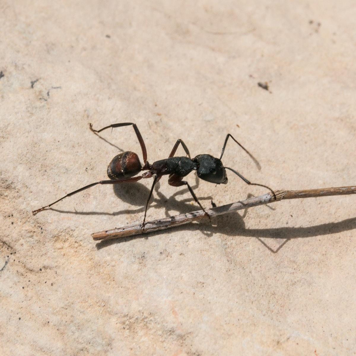 Tipos de hormigas carpinteras