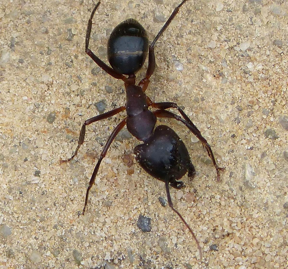 La alimentación de la hormiga carpintera
