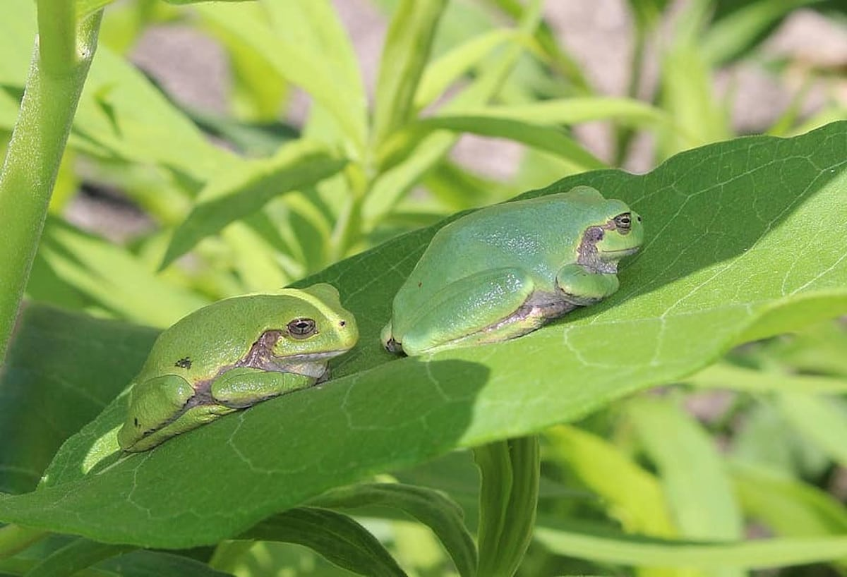 La reproducción de la rana arborícola