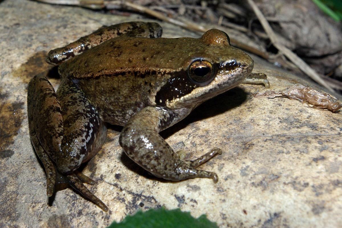 Características de la rana patilarga