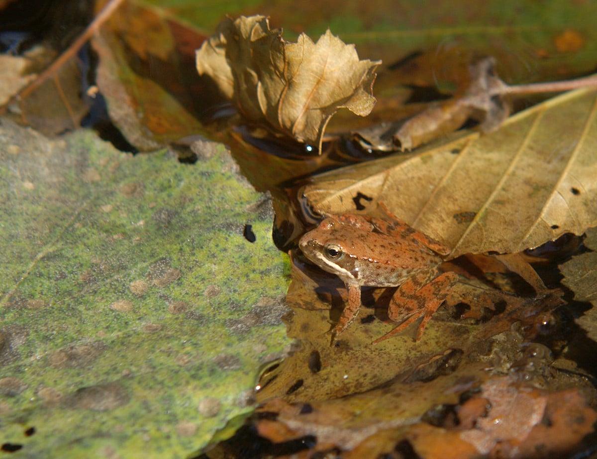 El comportamiento de la rana patilarga