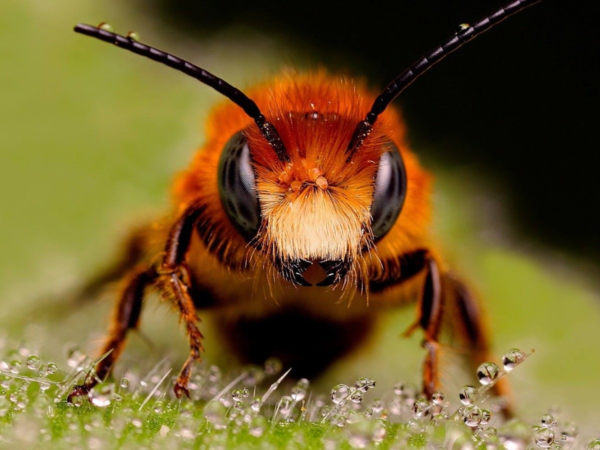 abejas asesinas