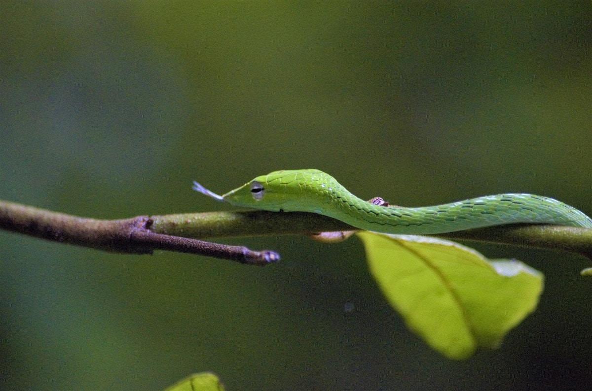Características de la serpiente verde