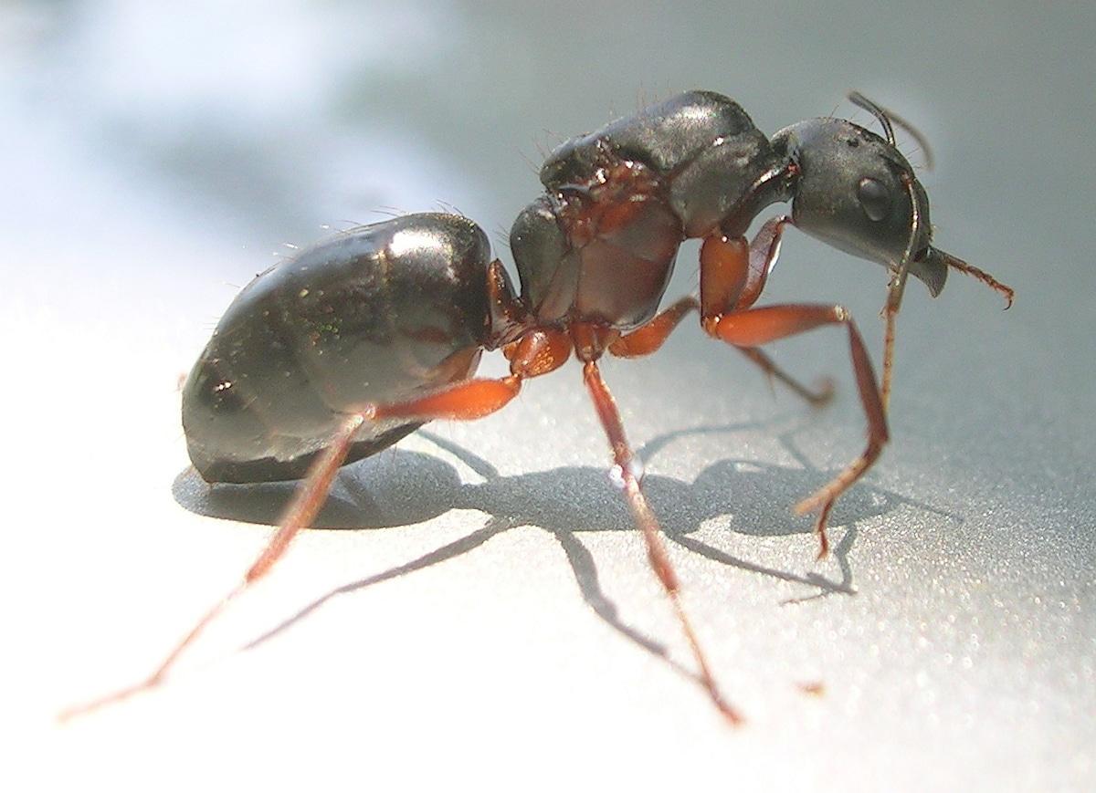 La reproducción de la hormiga carpintera